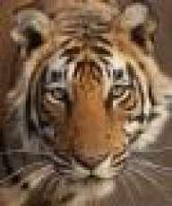 Spanish Tiger